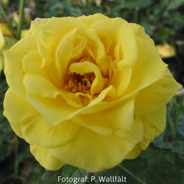 'Friesia' (Floribunda)-0