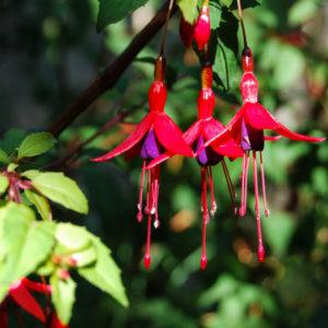 Fuchsia magellanica 'Gracilis Nana'-0