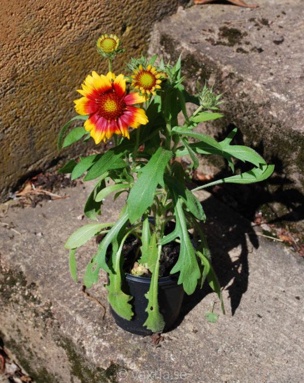 Gaillardia grandiflora 'Arizona Sun' -1603
