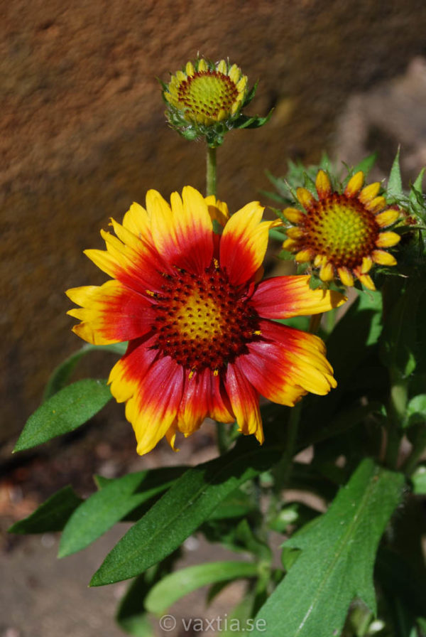 Gaillardia grandiflora 'Arizona Sun' -0