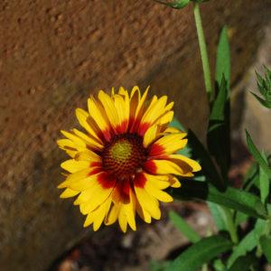 Gaillardia aristata 'Kobold'-0