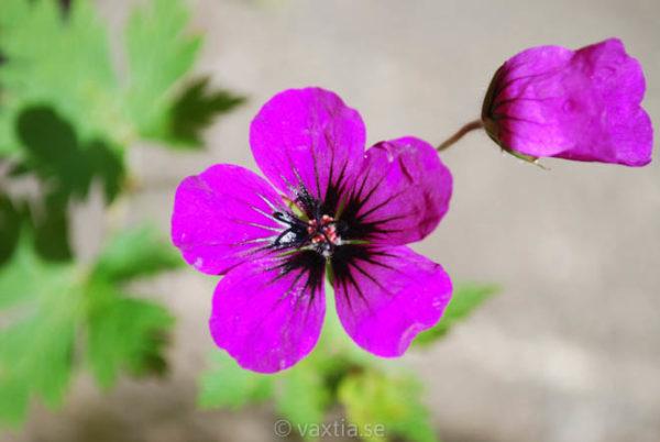 Geranium 'Anne Thomson' -0