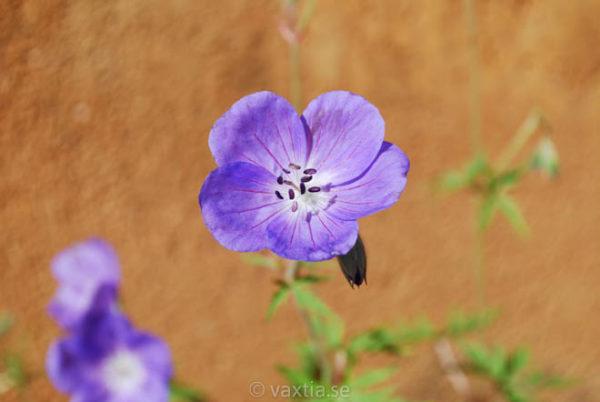 Geranium 'Brookside' -0