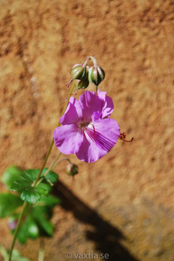Geranium cantabrigiense 'Karmina'-0