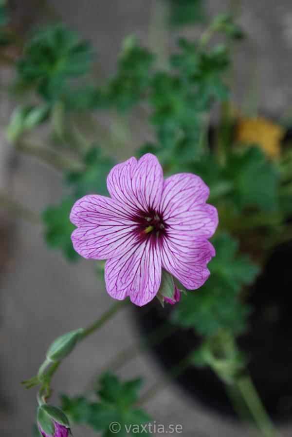 Geranium cinereum 'Ballerina'-0