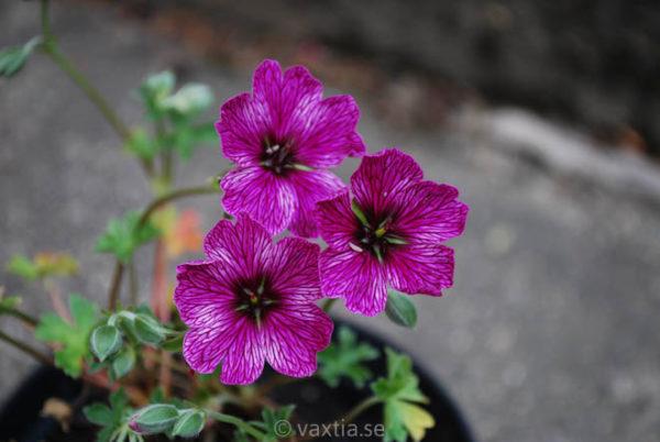 Geranium cinereum 'Purple Pillow'-0
