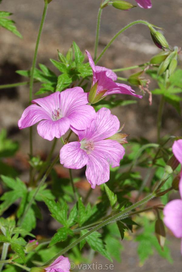 Geranium endressii-1483