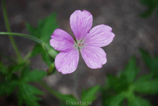 Geranium endressii-0