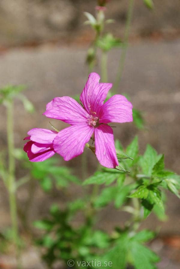 Geranium endressii 'Rosenlicht'-0