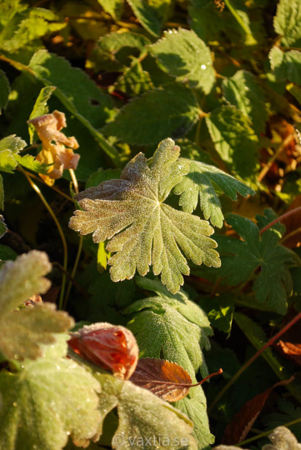 Geranium macrorrhizum 'Ingwersens Variety'-229