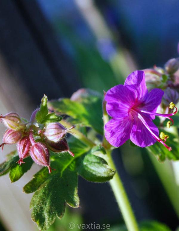 Geranium macrorrhizum 'Ingwersens Variety'-0