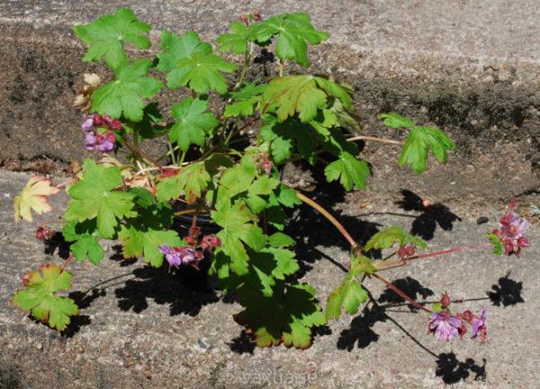 Geranium macrorrhizum 'Ingwersens Variety'-1096