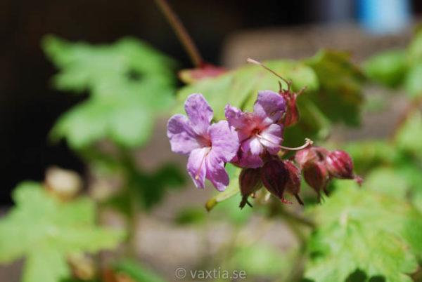 Geranium macrorrhizum 'Ingwersens Variety'-1098
