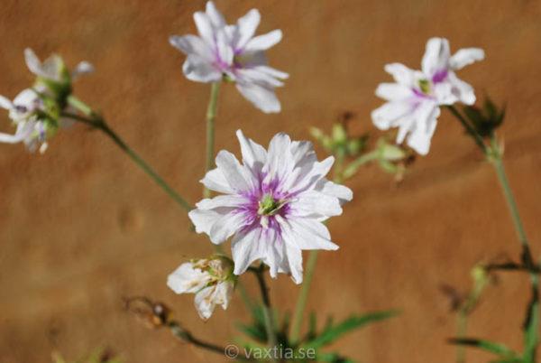 Geranium pratense 'Double Jewel'-0