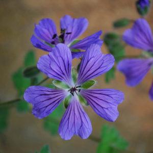 Geranium 'Philippe Vapelle'-0