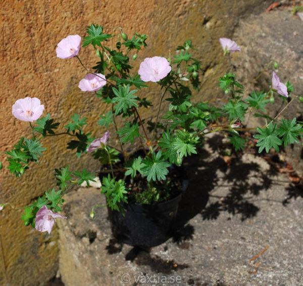 Geranium sanguineum 'Apfelblüte'-1566