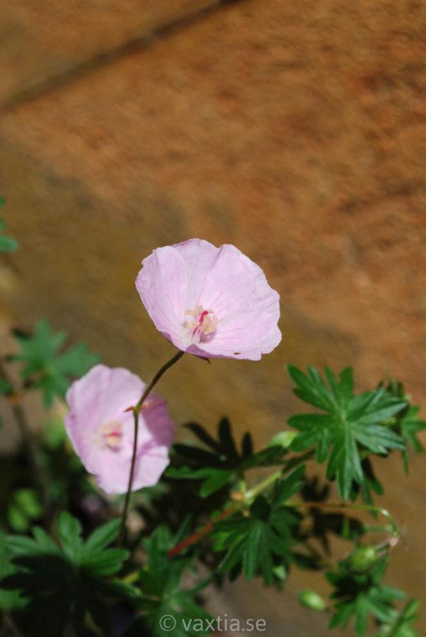 Geranium sanguineum 'Apfelblüte'-1567