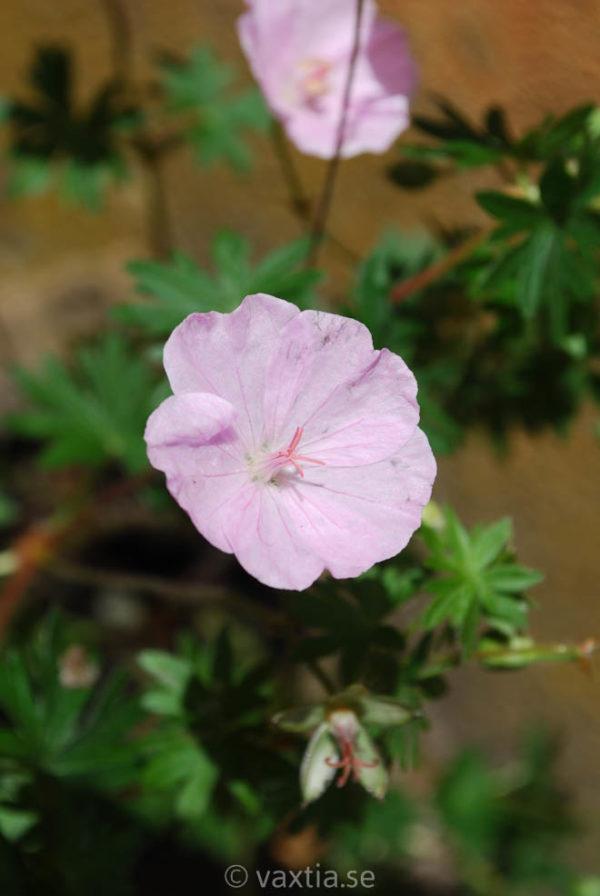 Geranium sanguineum 'Apfelblüte'-0