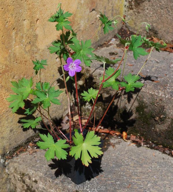 Geranium wlassovianum-1537