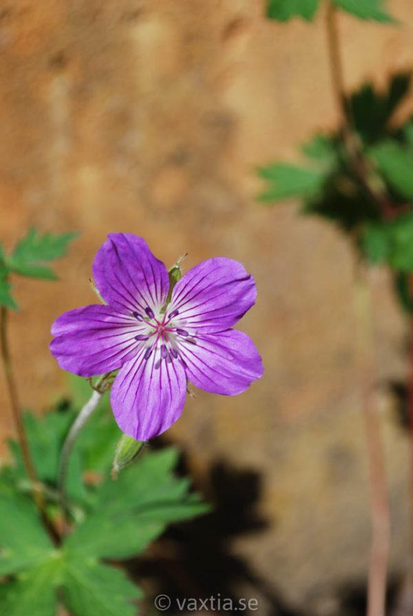 Geranium wlassovianum-0