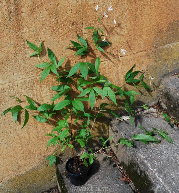 Gillenia trifoliata -0