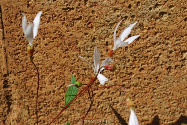 Gillenia trifoliata -1540
