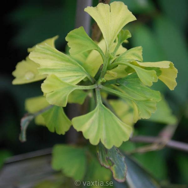 Ginkgo biloba 'Yellow Mellow'-0