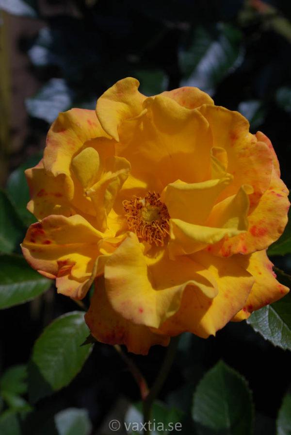 'Goldmarie 82'-3266