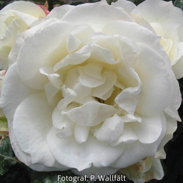 'Gråsten' (Floribunda)-0