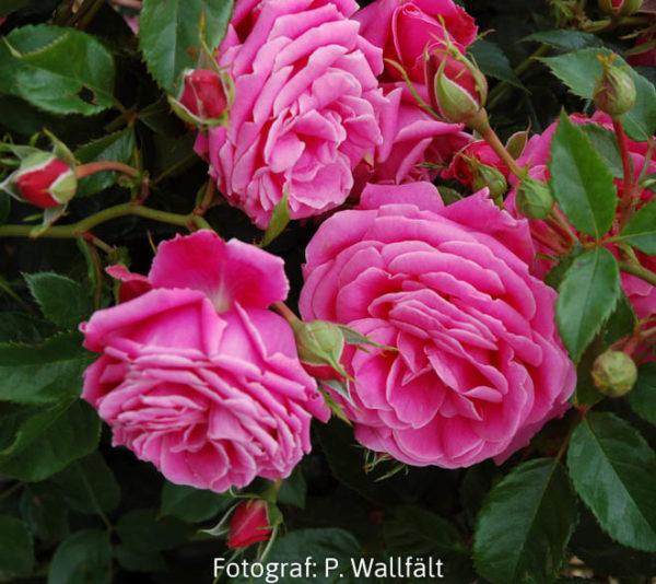 'Haga Slott' (Floribunda)-0