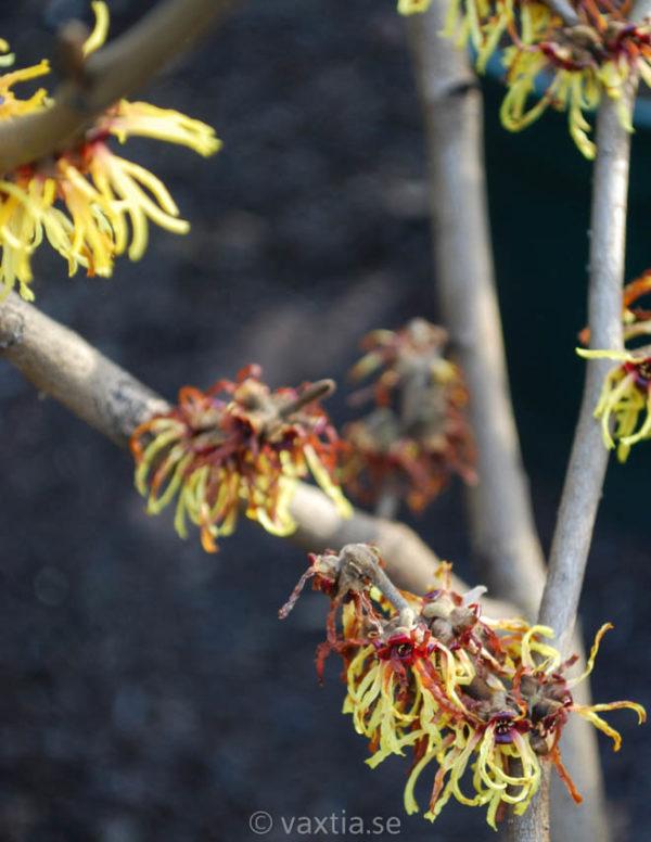 Hamamelis intermedia 'Orange Beauty'-0