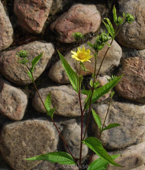 Helianthus 'Lemon Queen'-2007
