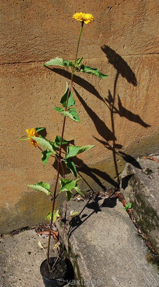 Heliopsis helianthoides 'Venus'-1660