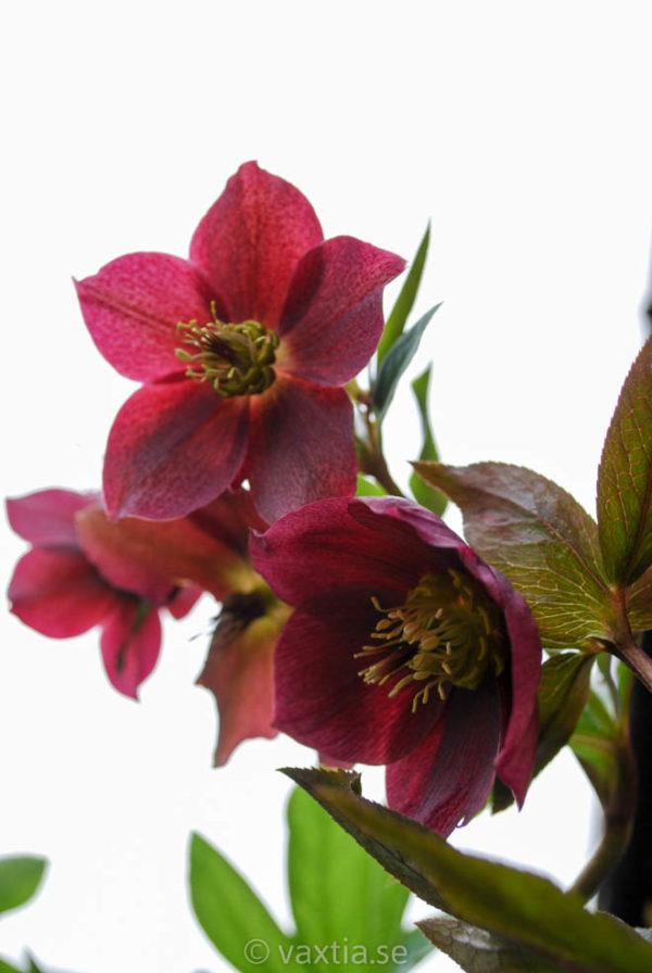 Helleborus orientalis 'Red Lady'-0
