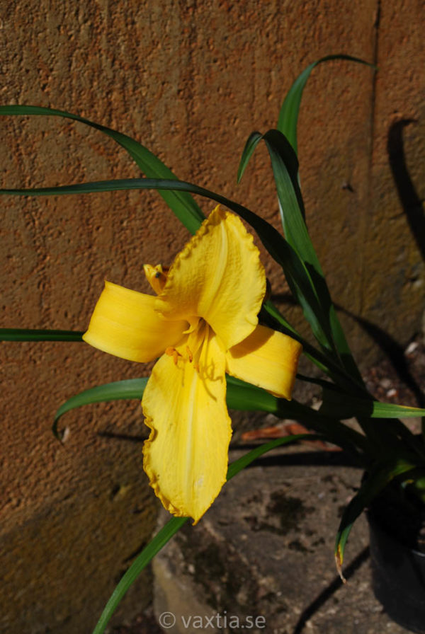 Hemerocallis 'Mary Todd'-0