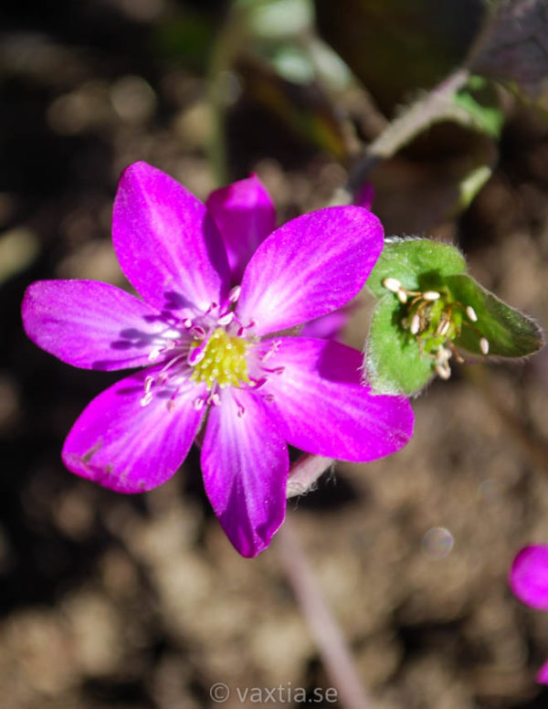 Hepatica 'Forest Red'-0