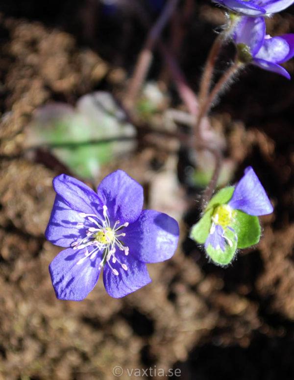 Hepatica nobilis-0