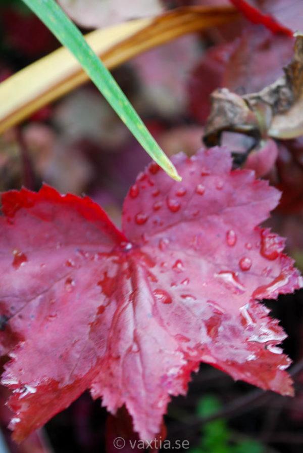 Heuchera 'Autumn Leaves'-0