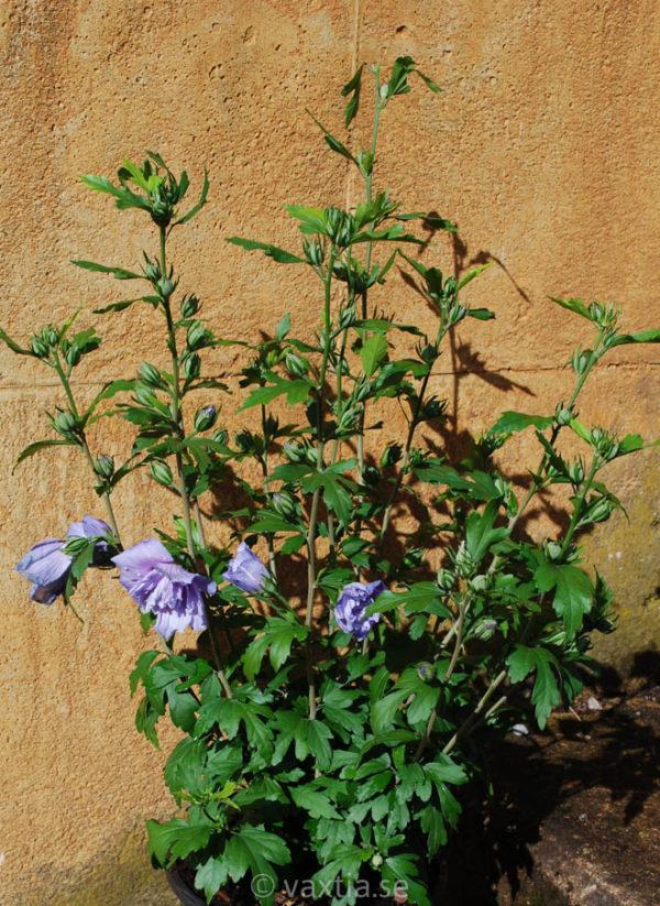 Hibiscus syriacus 'Blue Chiffon' -1874