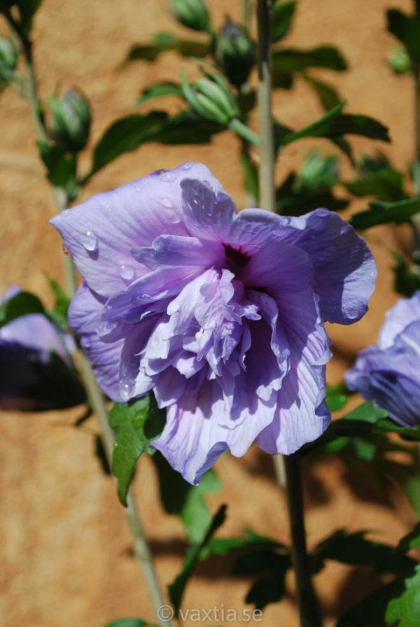 Hibiscus syriacus 'Blue Chiffon' -0
