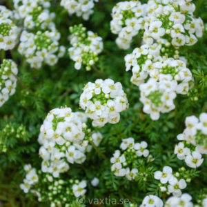 Hutchinsia alpina-0