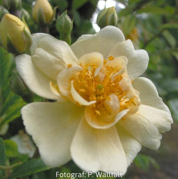 'Hybrida' (R.helenae) -0