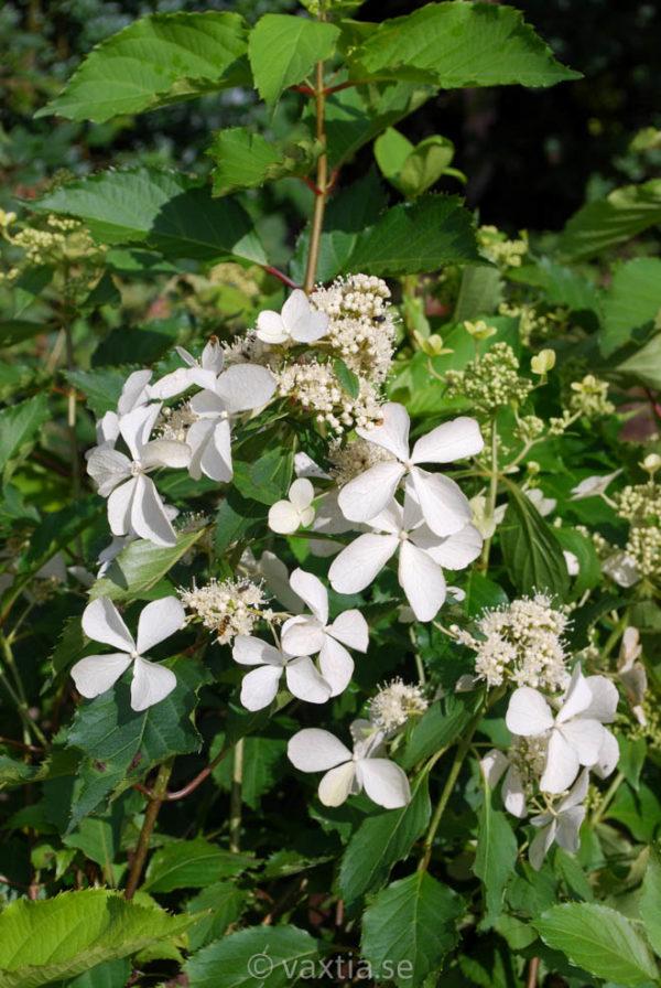 Hydrangea paniculata 'Butterfly' -0