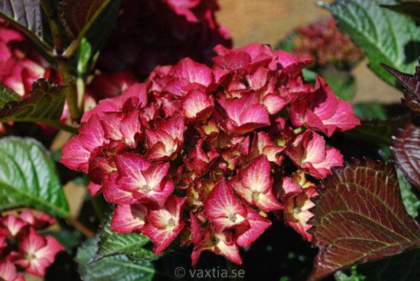Hydrangea macrophylla 'Black Diamond' -1189