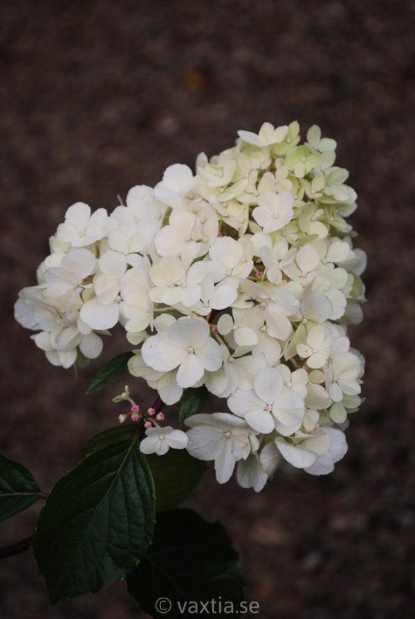 Hydrangea paniculata 'Vanilla Fraise' -0