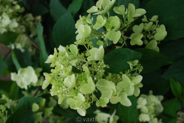 Hydrangea paniculata 'White Diamonds'-0