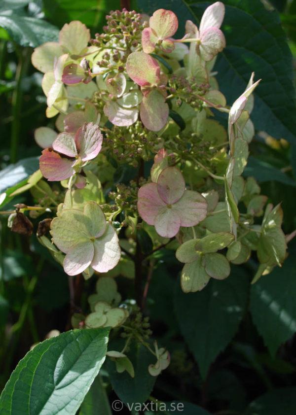Hydrangea paniculata 'Wim's Red' -0