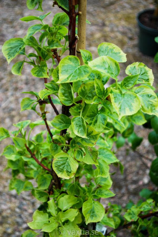 Hydrangea petiolaris 'Miranda' -0