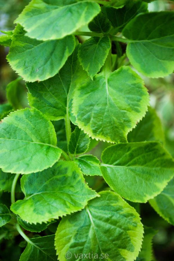Hydrangea petiolaris 'Miranda' -618