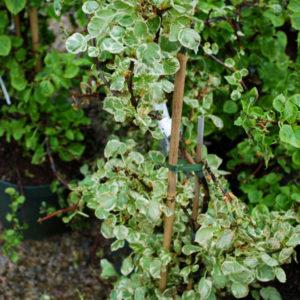Hydrangea petiolaris 'Silver Lining' -0